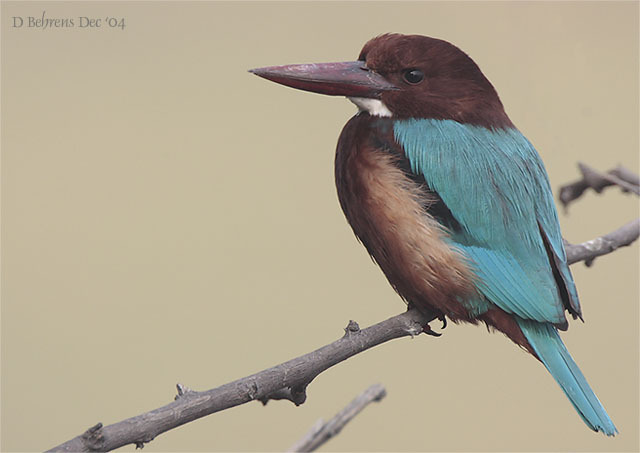 WhitethroatedKingfisher