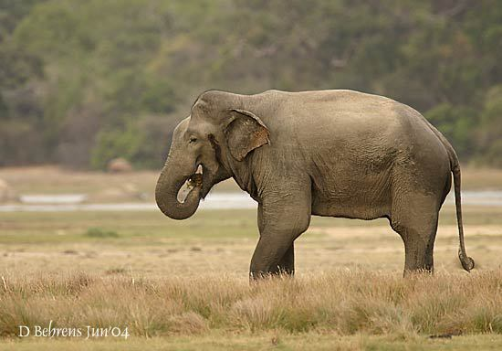 Yalaelephant