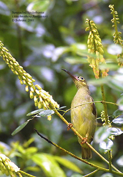 spectacledspiderhunter