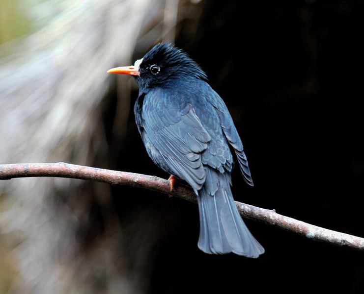 blackbulbul4