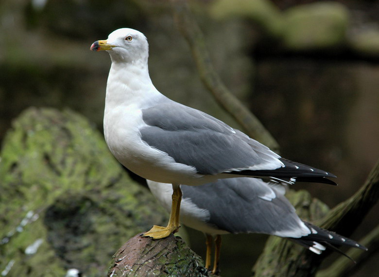 blacktailgull3