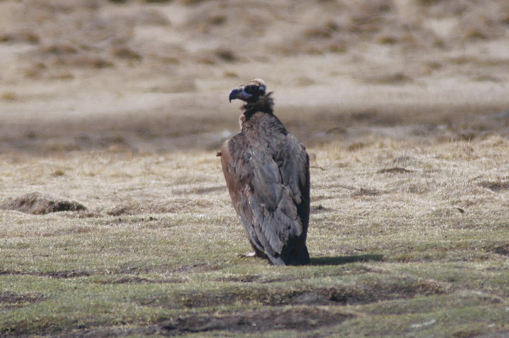cinereous_vulture2
