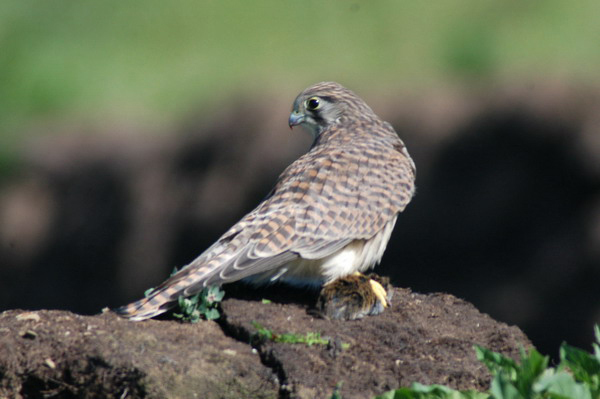 commonkestrel1