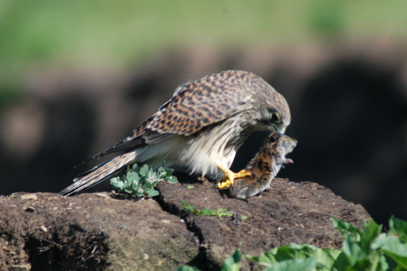 commonkestrel2