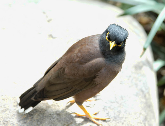 commonmynah1