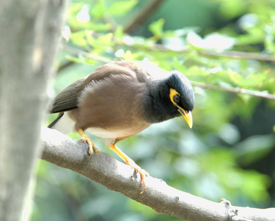 commonmynah3