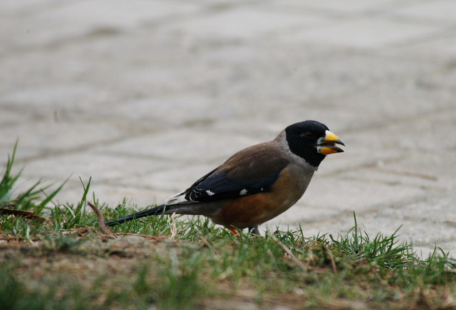grosbeak4