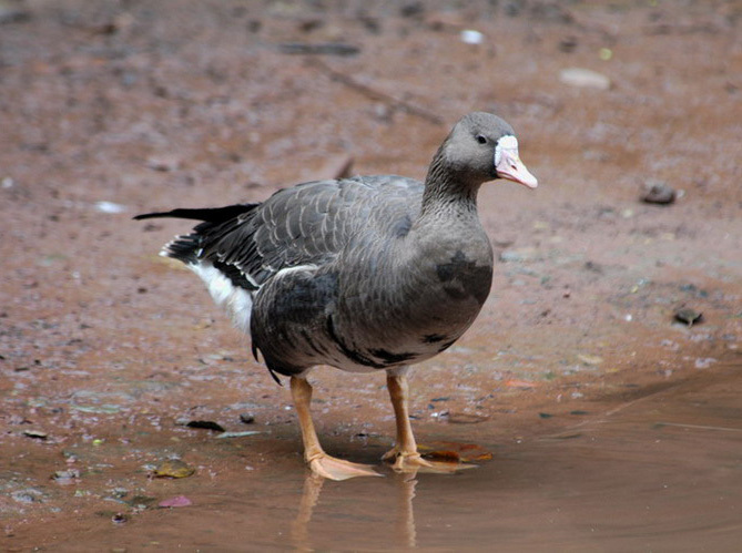 gwfrontedgoose1