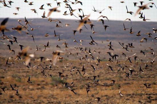 pallas_sandgrouse3