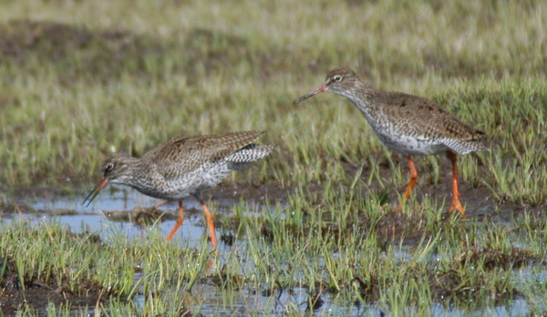redshanks2