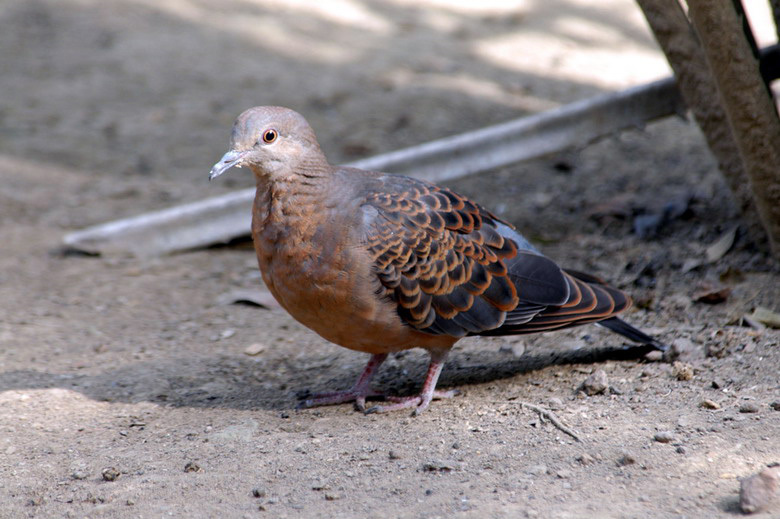 turtledove2