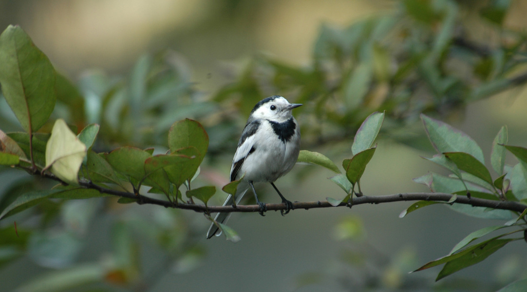whitewagtail11