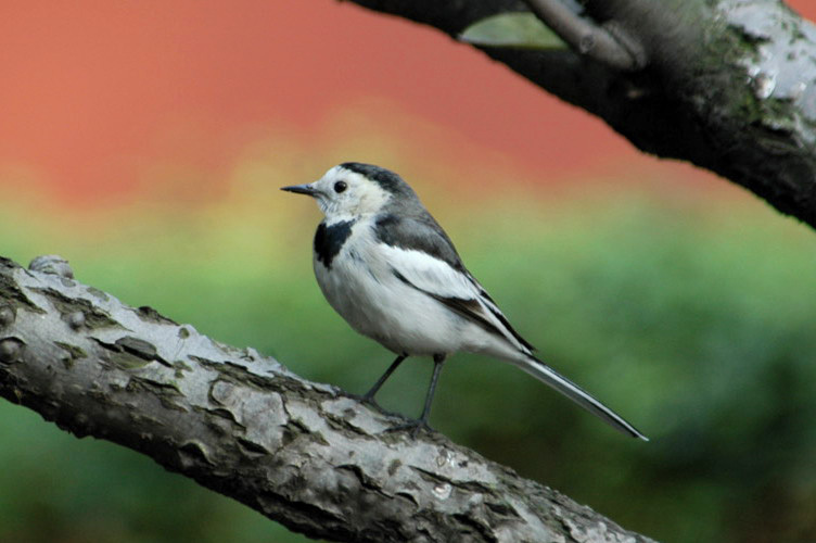 whitewagtail12
