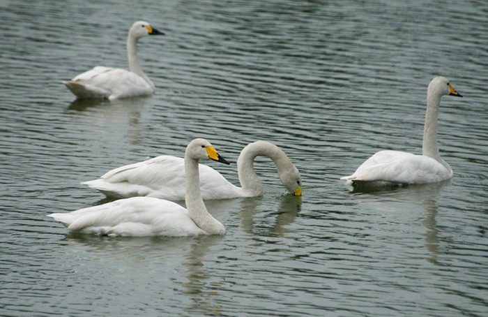 whoopers2
