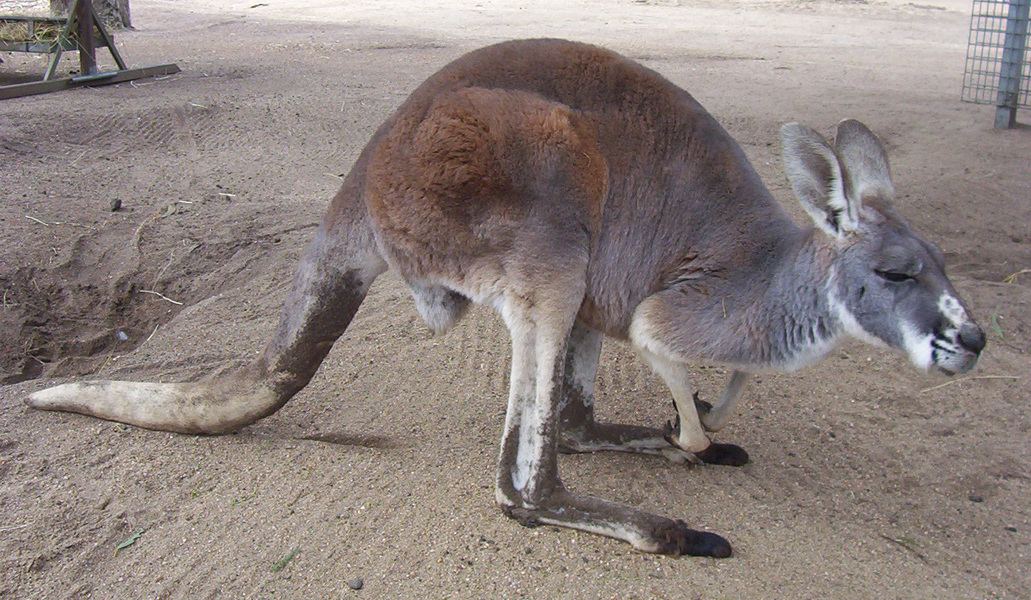 female_red_kangaroo2