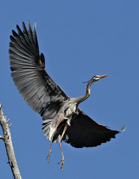 blueheron_flight
