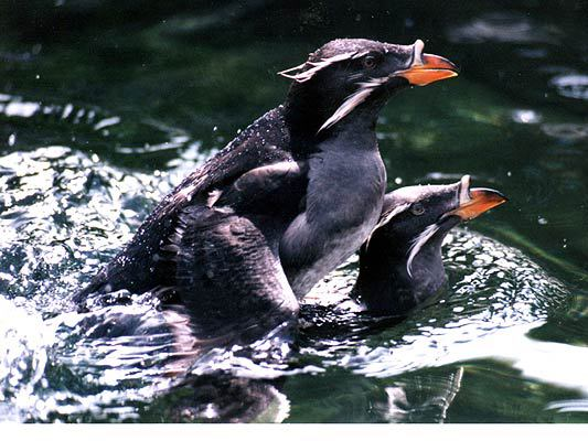 auklets