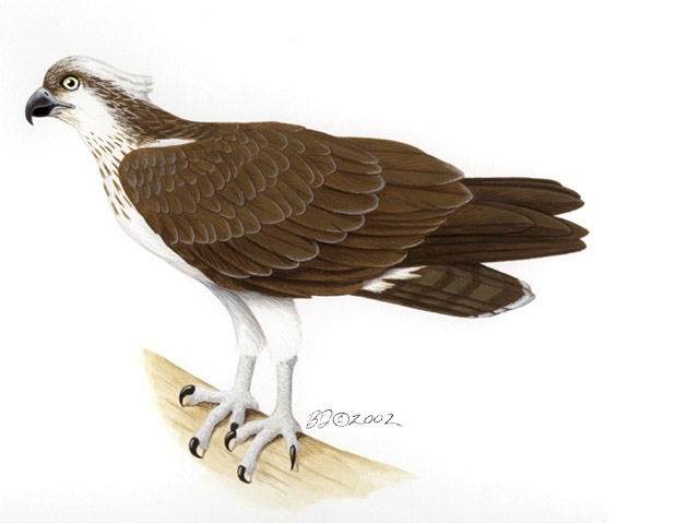 Pandion_haliaetus