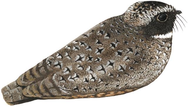 Adw Phalaenoptilus Nuttallii Information