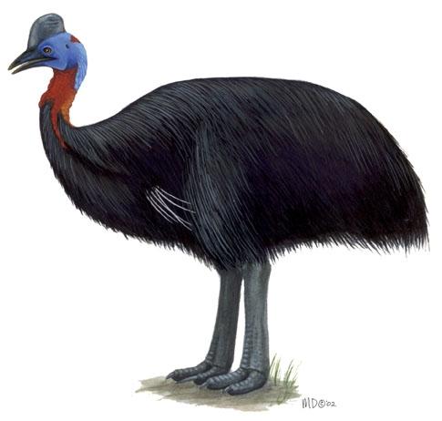 the southeast cassowary detailed essay