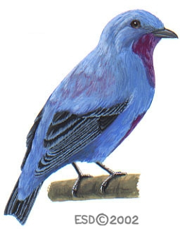 Cotinga_ridgwayi_male