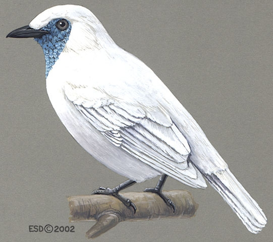 Procnias_nudicollis_male
