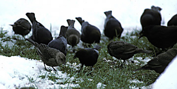 Brown_headedCowbirds