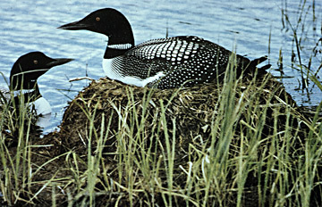 CommonLoons