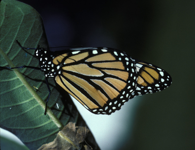 Monarch_newly_emergedMarshallMN_12