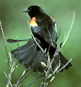 Red_wingedBlackbird3