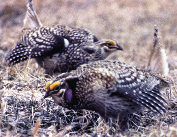 Sharp_tailedGrouse_a