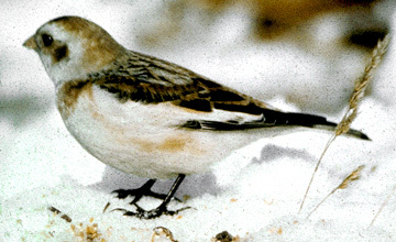SnowBunting_a