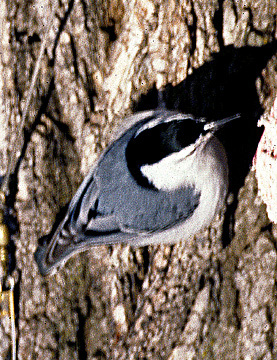 White_breastedNuthatch_a
