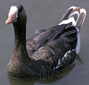 White_frontedGooseSlimbridgeUK