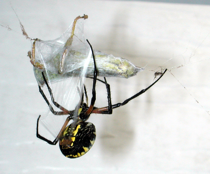 argiope_aur_wrapping1