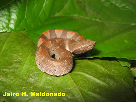 Bothrocophias_hyop