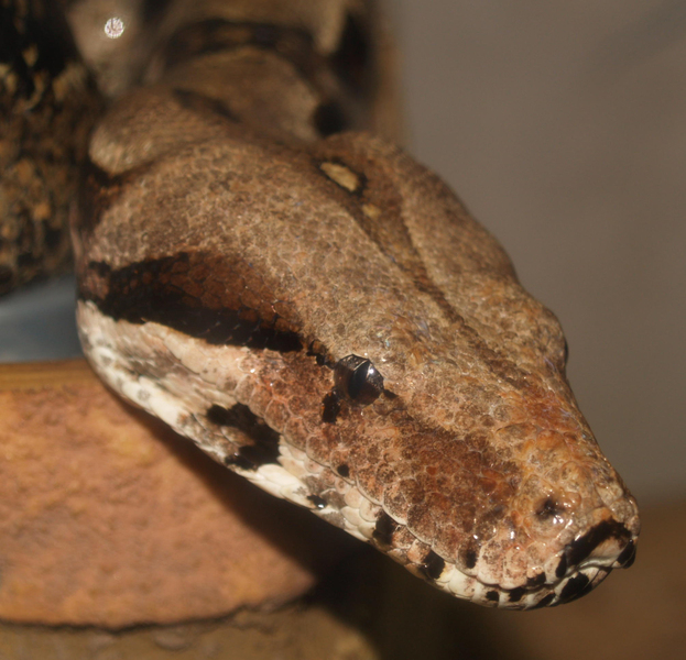 Bconstrictor1
