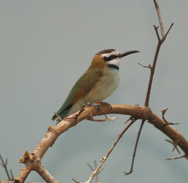 Beeaterswhitethroated3