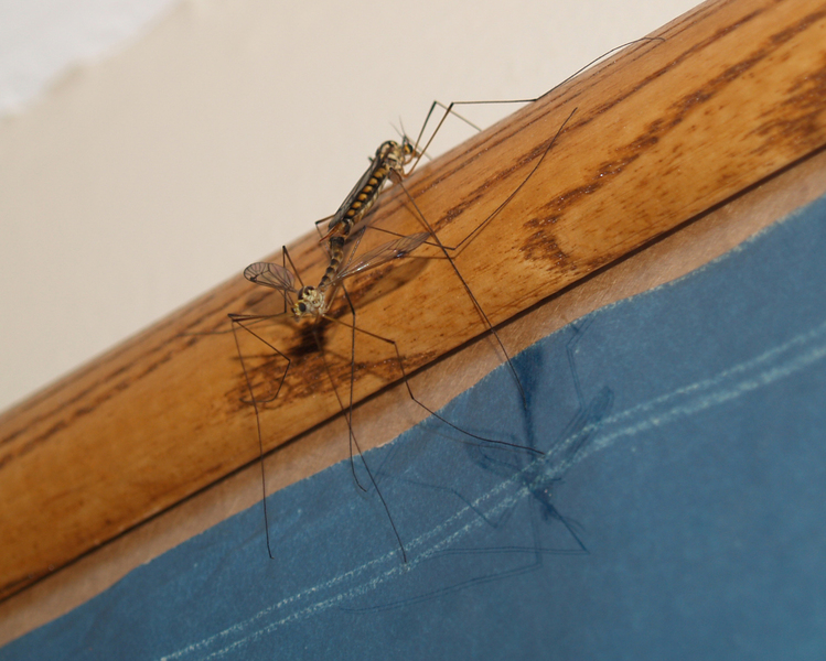 craneflies_mating