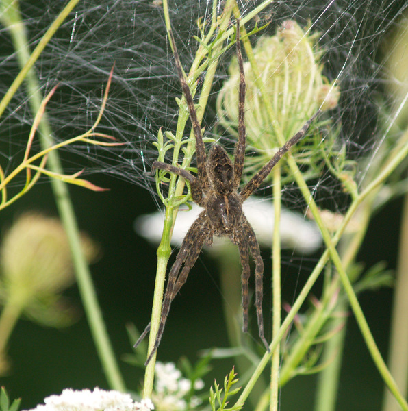 fishingspider