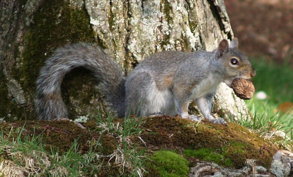graysquirrelnut