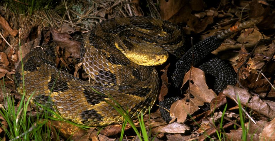 arbor viper snake