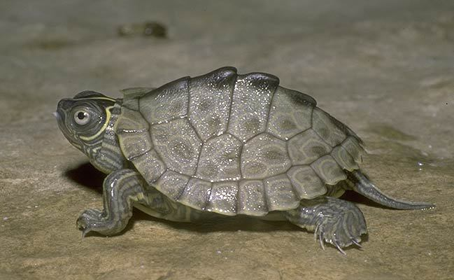 Gallery For Gt Mississippi Map Turtle Hatchling