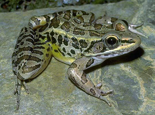 Lithobates palustris