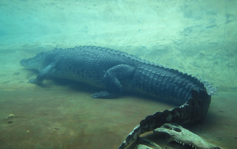 Crocodylia