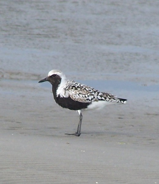 Blackbellied_Plover_100b0830