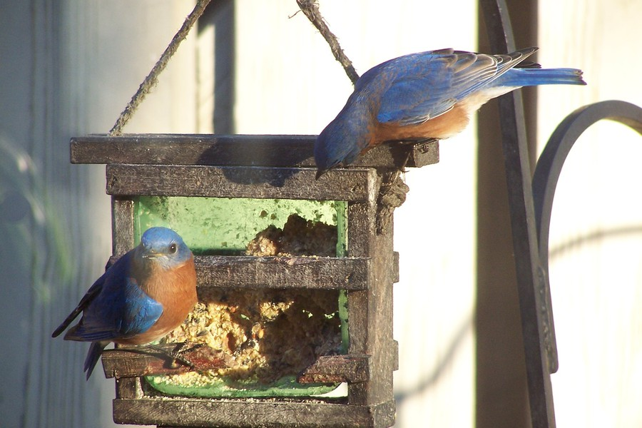 Eastern_Bluebirds_101b8100