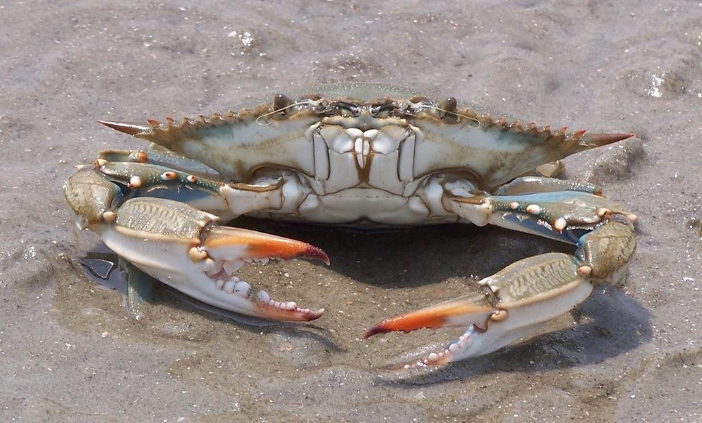 ADW: blue_crab_5_23_05_100_4113.jpg