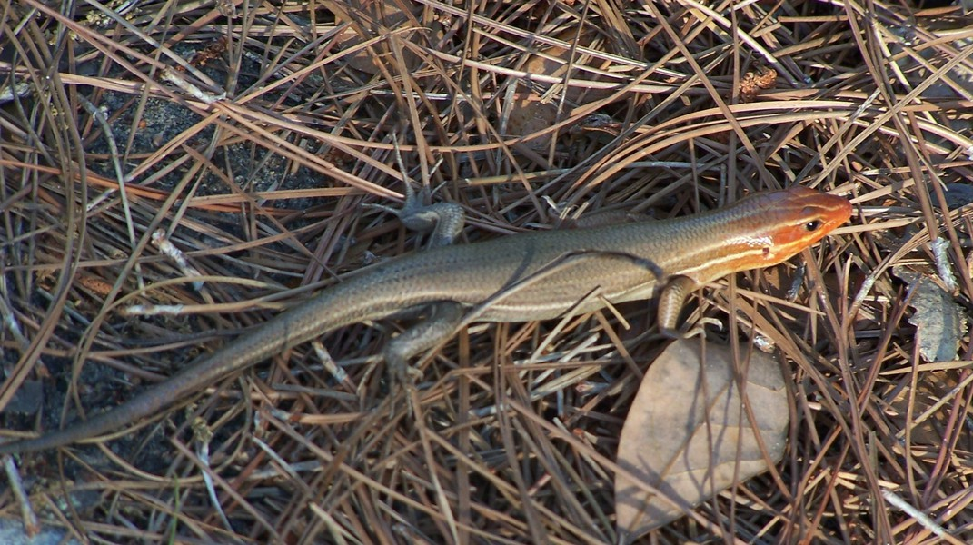 five-lined_skink_100b0980