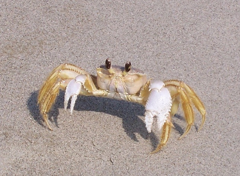 ghost_crab_100_3035